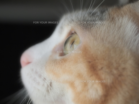 見つめる猫の写真素材 [FYI00085618]
