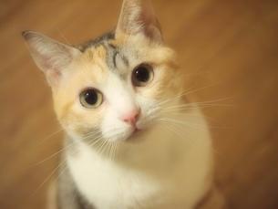 見つめる猫の素材 [FYI00085631]
