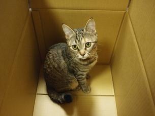 ダンボール箱の中の猫の写真素材 [FYI00085638]