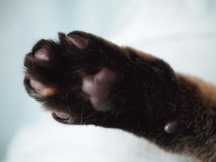 猫の肉球の写真素材 [FYI00085646]