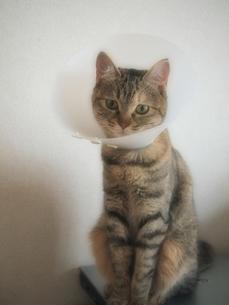 エリザベスカラーをつけた猫の写真素材 [FYI00085672]