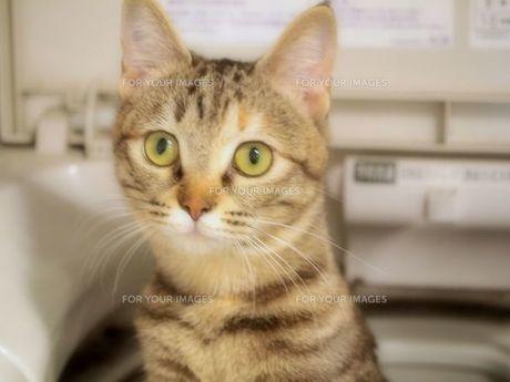 洗濯機から顔を出した猫の写真素材 [FYI00085713]