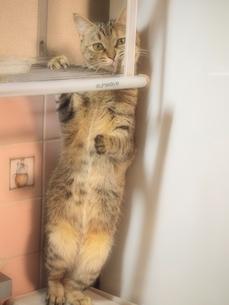 立ち上がる猫の素材 [FYI00085726]