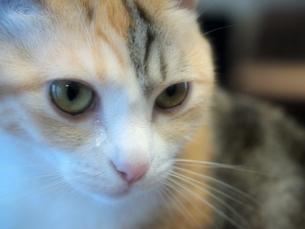 涙を流す猫の写真素材 [FYI00085728]