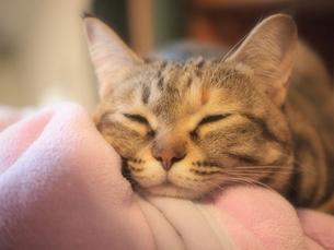 眠そうな猫の写真素材 [FYI00085838]