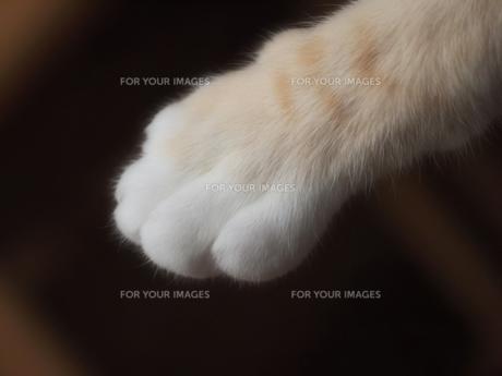 猫の手の写真素材 [FYI00085855]