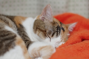 眠る猫の写真素材 [FYI00085862]