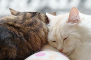 寄り添う猫の写真素材 [FYI00085863]