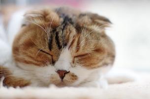 猫の寝顔の写真素材 [FYI00085869]