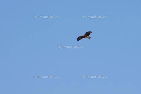 青空を舞う鳶の写真素材 [FYI00085913]