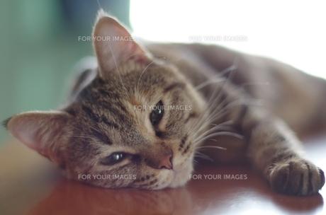 くつろぐ猫の素材 [FYI00085925]