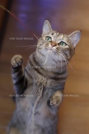 じゃれる猫の素材 [FYI00085936]