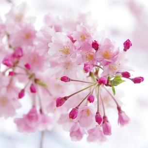 河津桜の写真素材 [FYI00085948]