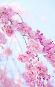 枝垂れ桜の写真素材 [FYI00085953]