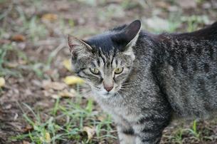 精悍な野良猫の素材 [FYI00085966]