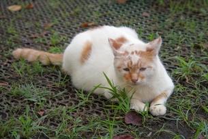 横になる野良猫の素材 [FYI00085971]