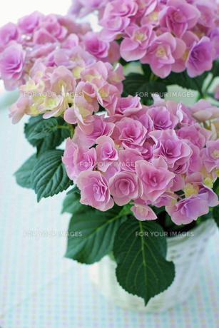 アジサイの花の写真素材 [FYI00086028]