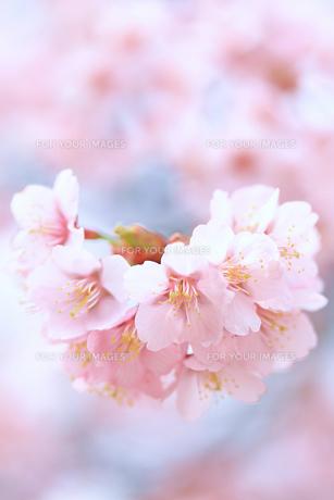 桜①の写真素材 [FYI00086039]