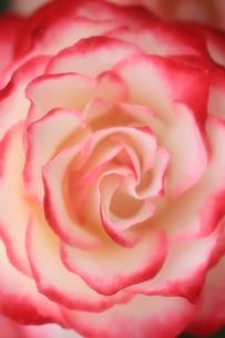 薔薇の素材 [FYI00086097]