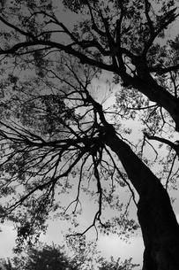 樫の木のシルエットの写真素材 [FYI00086136]