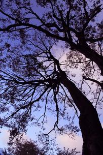 樫の木のシルエットの写真素材 [FYI00086181]