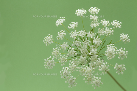 白いレースフラワー・グリーン背景の写真素材 [FYI00086188]