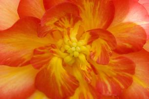 オレンジ色の球根ベゴニアの花の写真素材 [FYI00086191]