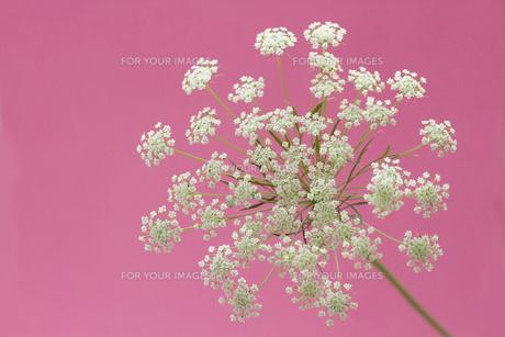 白いレースフラワー・ピンク背景の写真素材 [FYI00086201]