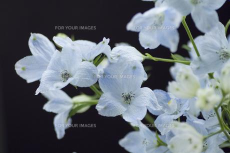 ブルーのデルフィニウム・黒バックの写真素材 [FYI00086203]