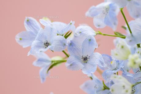 ブルーのデルフィニウム・ピンク背景の写真素材 [FYI00086209]