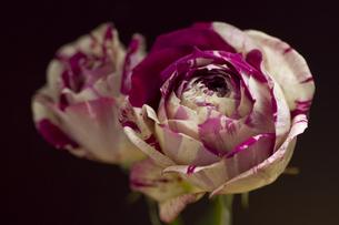 絞りの美しい日本の薔薇・かおりの素材 [FYI00086210]