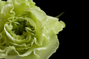 個性的な薔薇・スーパーグリーンの写真素材 [FYI00086213]