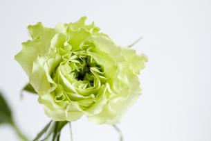 グリーンの薔薇・スーパーグリーンの写真素材 [FYI00086230]
