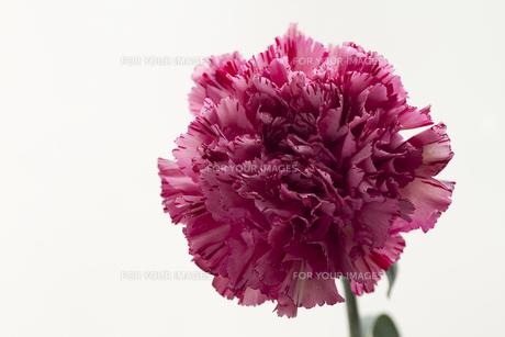 ピンクに赤の絞りカーネーション・ハイパーワインの素材 [FYI00086234]