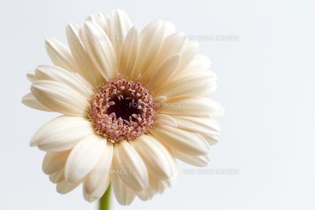 ジェルミニガーベラ・品種名/ホージーの写真素材 [FYI00086256]