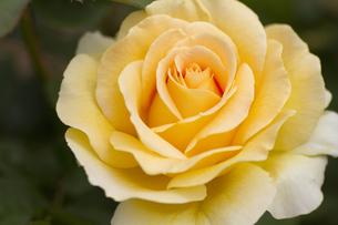 薔薇・品種名/ハニー・ブーケの写真素材 [FYI00086302]
