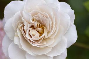 薔薇・品種名/グレイ・パールの写真素材 [FYI00086355]