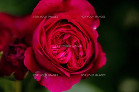 薔薇・品種名/ルージュ ピエール・ド・ロンサールの写真素材 [FYI00086387]