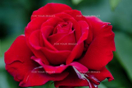 薔薇・品種名/ルージュ・メイアンの写真素材 [FYI00086391]