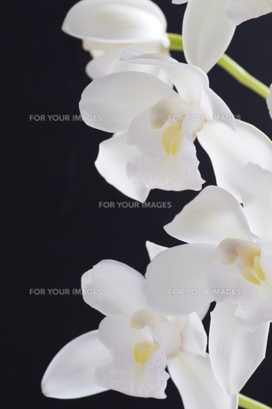 ランの花品種名/シンビジウム・エルフィンビューティーの写真素材 [FYI00086396]