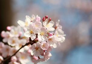 桜 開花 つぼみの写真素材 [FYI00086430]