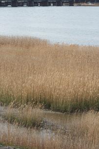川と葦の写真素材 [FYI00086465]