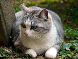 草の上に寝そべる猫の素材 [FYI00087208]