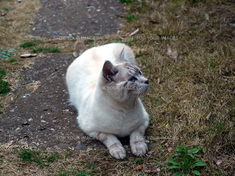 屋外で寝そべる猫の素材 [FYI00087209]