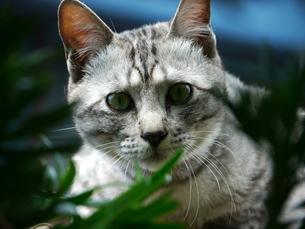 木の隙間から見つめる猫の素材 [FYI00087214]