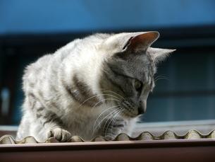 屋根の上の猫の素材 [FYI00087215]
