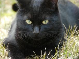 草の上に寝そべる猫の素材 [FYI00087217]