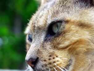 猫の顔アップの素材 [FYI00087218]