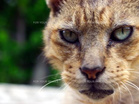 猫の顔アップの素材 [FYI00087219]