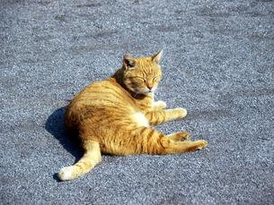 寝そべる猫の素材 [FYI00087220]
